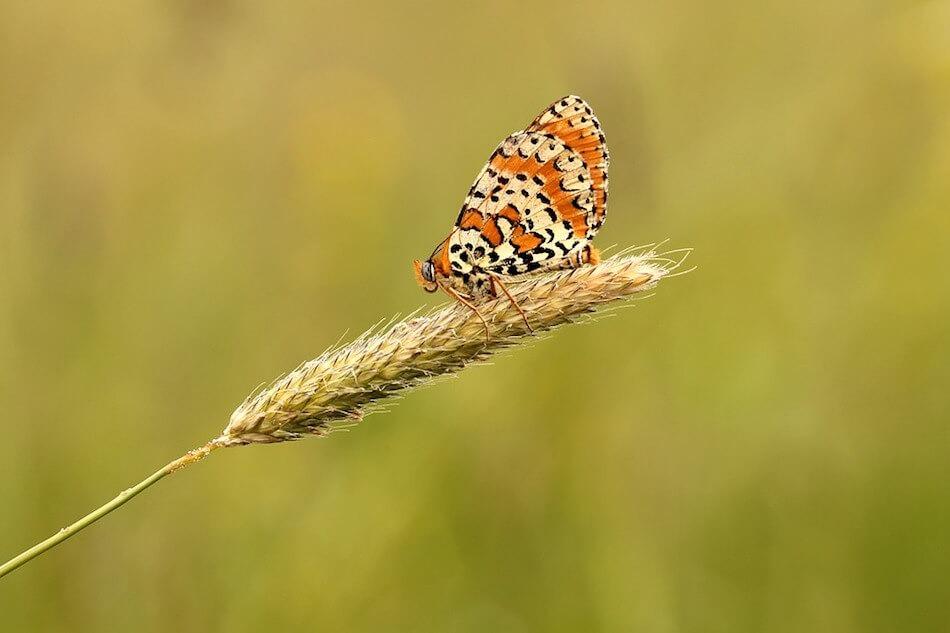 farfalla-macro