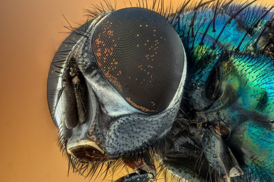 occhio-mosca